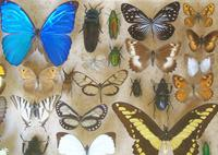 Large Antique Specimen Butterfly & Insect Case (5 of 9)