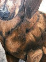 20th Century English Portrait Dachshund Sausage Animal Dog Oil Painting (11 of 12)