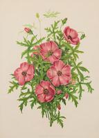 Modiola Geranioides Chromolithograph. Robinson. The Garden 1871-1881 (2 of 4)