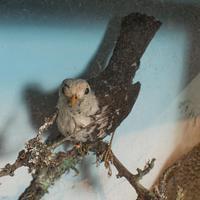 Antique Taxidermy Scene, Birds, Pheasant, Blackbird, Display Case, Victorian (7 of 10)
