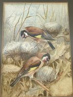 Ornithological Watercolour Finches Birds Study by Florence Barlow Royal Doulton (27 of 40)