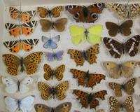 Antique Butterfly & Moth Cased Specimen Collection (3 of 8)