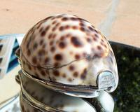 Rare Georgian Solid Silver Mounted Scottish Tiger Cowrie Shell Snuff Box (7 of 11)