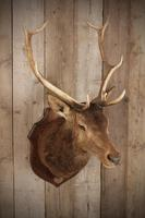 Taxidermy Eight Pointer Red Stag (6 of 6)