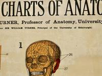 """Large University Anatomical Chart """"Veins and Lungs"""" by Turner (6 of 6)"""