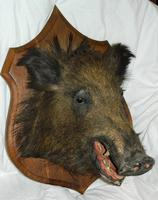 Taxidermy Boars Head (5 of 5)