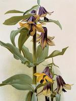 Stunning 'Fritillaria' Chromolithograph. Henry G Moon. 1903 (2 of 4)