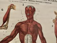 """Large University Anatomical Chart """"Muscles"""" by Turner (7 of 7)"""