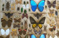 Antique Specimen Butterfly & Insect Case (3 of 8)