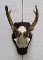 European Roe Deer Antlers (2 of 7)