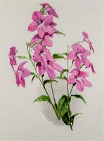 Pretty 'Pink Browallia' Chromolithgraph 1903 (4 of 4)