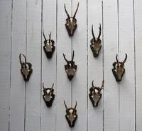 Roe Deer Antlers (7 of 7)