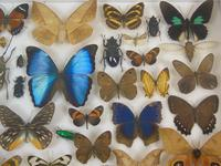 Good Antique Butterfly & Insect Specimens Collection (5 of 8)