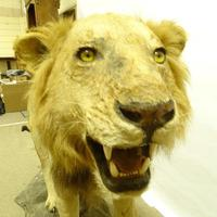 Taxidermy - Lion, Early 20th Century, on Naturalistic Base (2 of 2)