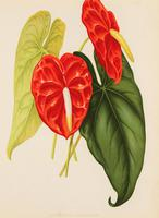 Architectural 'Anthurium Andreanum' Chromolithograph 1871-1881 (4 of 4)