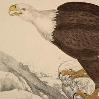 Hand Coloured 'Bald Eagle' Lithograph. Goldsmith 1875