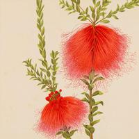 Fine and Intricate 'Beaufortia Spendens' Chromolithograph 1871-1881