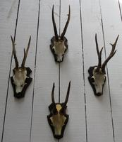 European Roe Deer Antlers (7 of 7)