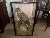 Magnificent Taxidermist's Display of a Buzzard in a Glass Case -  Late Victorian (4 of 6)