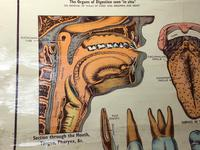 Vintage Medical Anatomical Elementary Physiology Chart Poster Early Arnold No 5 (9 of 19)