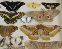 Antique Butterfly & Moth Cased Specimen Collection (7 of 8)