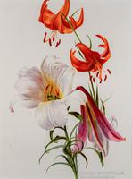 Romantic and Wonderful 'Mixed Lilies'  Chromolithograph 1903 (4 of 4)