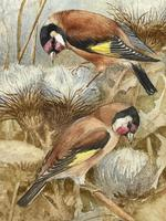 Ornithological Watercolour Finches Birds Study by Florence Barlow Royal Doulton (15 of 40)