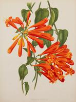 Bignonia Venusta Chromolithograph. Robinson. The Garden 1903 (2 of 4)