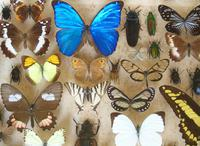 Large Antique Specimen Butterfly & Insect Case (9 of 9)