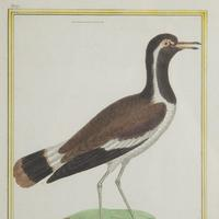 Set of Twelve Bird Hand Coloured Engravings by Martinet (3 of 5)