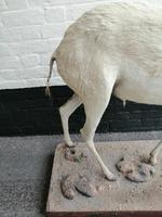 Taxidermy:  An African  Antelope (7 of 7)