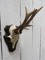 European Roe Deer Antlers (6 of 7)