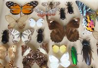Large Antique Specimen Butterfly & Insect Case (6 of 10)