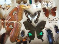 Large Antique Specimen Butterfly & Insect Case (5 of 10)