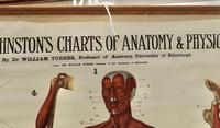 """Large University Anatomical Chart """"Muscles"""" by Turner (5 of 7)"""