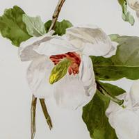 Beautiful 'White Magnolias' Chromolithograph. Henry G Moon. 1903 (2 of 4)