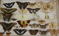 Antique Butterfly and Moth Cased Specimen Collection (5 of 7)