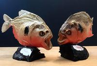 Pair of Mounted Red Bellied Piranha from Venezuela