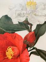 Dramatic 'Camellias' Chromolithograph. Henry G Moon. 1903 (2 of 4)