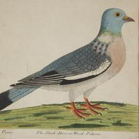 Set of Four Dove Coloured Engravings by Eleazar Albin 18thc (4 of 5)