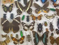 Good Antique Butterfly & Insect Specimens Collection (4 of 8)