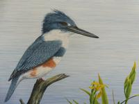 Oil on Canvas Study of a Kingfisher Listed Artist Geoffrey Campbell Black (9 of 10)