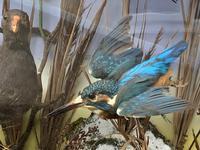 Taxidermy Edwardian Case of 7 Birds Inc: Kingfisher, Snipe, Moorhen & Woodcock (9 of 15)