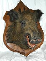 Taxidermy Boars Head (4 of 5)
