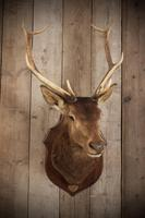 Taxidermy Eight Pointer Red Stag (5 of 6)