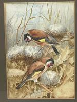 Ornithological Watercolour Finches Birds Study by Florence Barlow Royal Doulton (4 of 40)