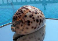 Rare Georgian Solid Silver Mounted Scottish Tiger Cowrie Shell Snuff Box (2 of 11)