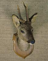 Taxidermy Roe Deer (3 of 4)