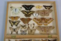 Antique Butterfly & Moth Cased Specimen Collection (5 of 8)