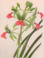 Beautiful 'Cymbidium Orchid' Rare Chromolithograph 1903 (3 of 4)